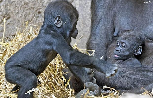 filhote_gorila