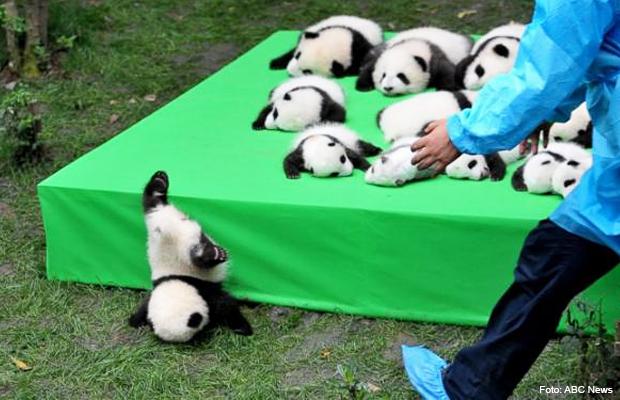 filhote_panda