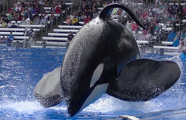 Orca Tilikum falece no SeaWorld e parque lamenta a morte da baleia
