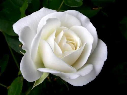 mulheres-usarão-Rosa-Branca-no-grammy