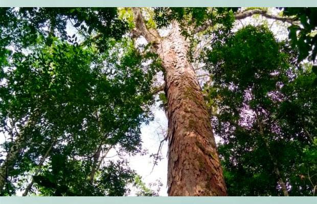 Árvore mais alta da Amazônia está longe das queimadas, por enquanto