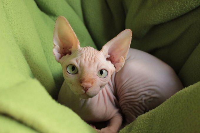 7 contas do Instagram pra quem ama gatos peladinhos da raça Sphynx