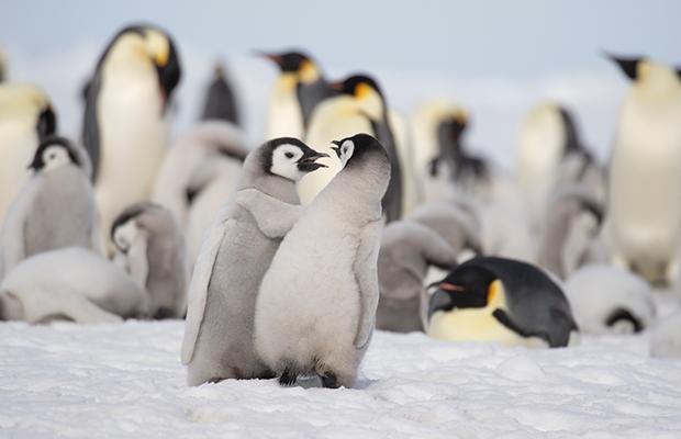 Pinguim-imperador é a mais nova espécie que pode entrar em extinção