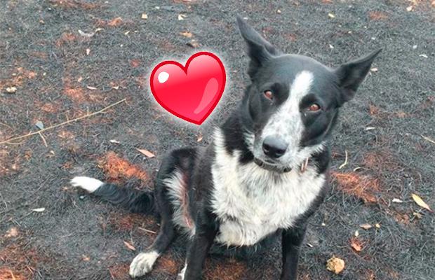 Patsy, a heroína: cachorra salva rebanho de ovelhas de incêndio na Austrália