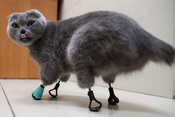 Gatinha que teve patas amputadas ganha próteses feitas em impressora 3D