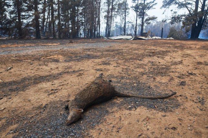 Incêndios na Austrália colocam muitas dezenas de animais em extinção