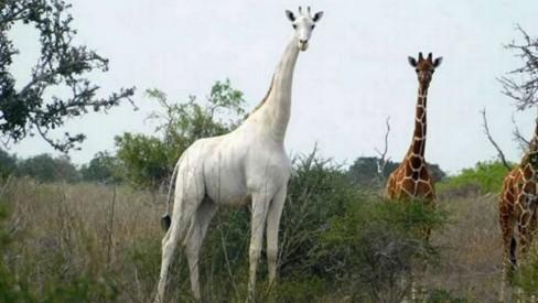 Caçadores matam duas das últimas três girafas brancas ainda vivas na Terra