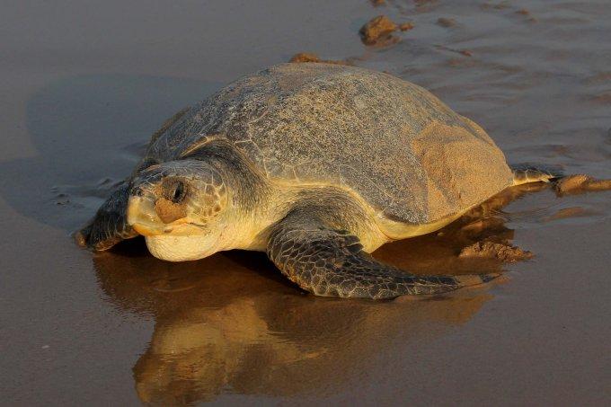 India Olive Ridley Turtles Mass Nesting