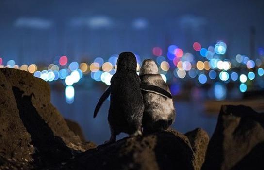 Fotógrafo regista pinguins tendo um date romântico em meio a quarentena