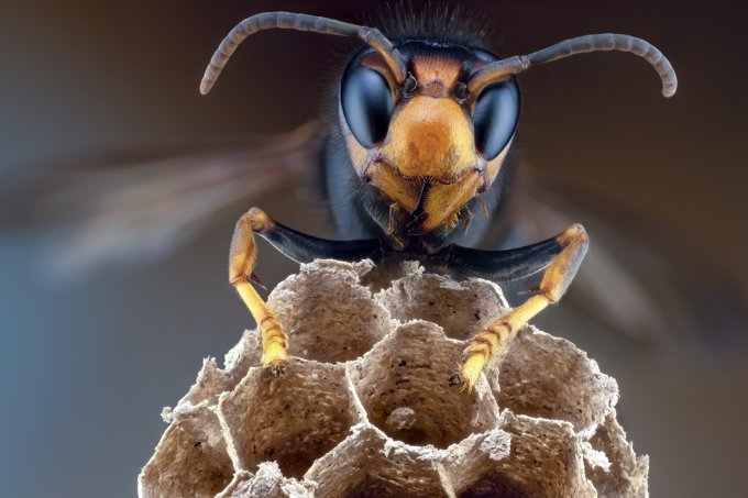 """Qual é que é a das """"vespas assassinas"""" avistadas pela 1ª vez nos EUA?"""