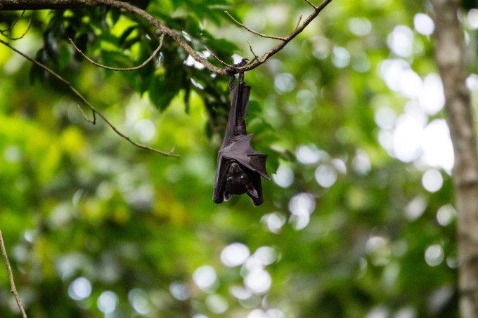 Novo coronavírus pode ter circulado por décadas entre morcegos; entenda!