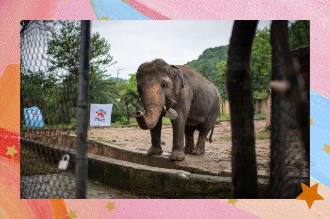 """""""Elefante mais sozinho do mundo"""" é liberto após 35 anos preso em zoológico"""