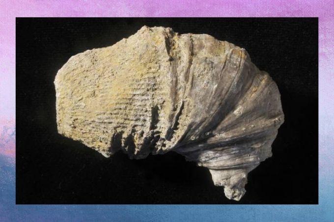 Criança encontra fóssil de 500 milhões de anos no quintal de casa