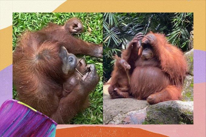 Orangotango bomba no TikTok após colocar óculos escuros de maneira estilosa